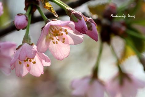 薄紅桜 blog.jpg